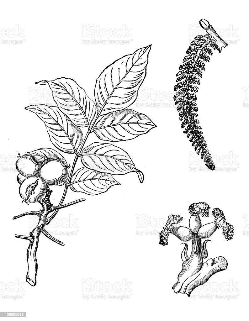 Antique illustration of Juglans regia (Persian walnut, English walnut) vector art illustration