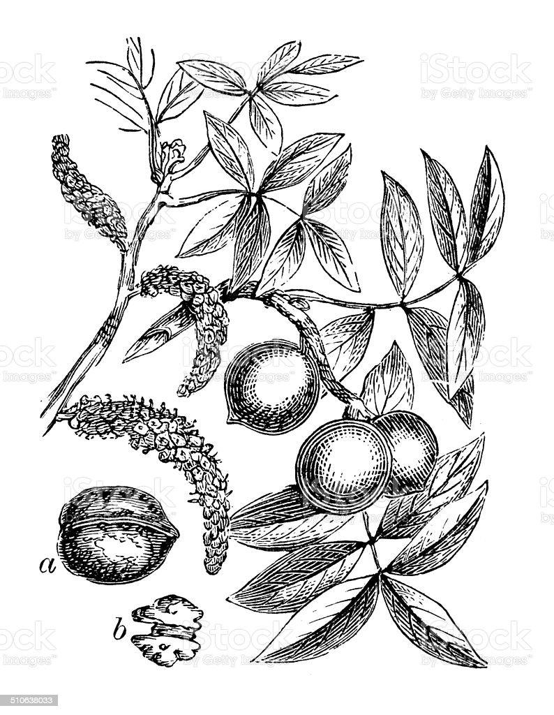Antique illustration of Juglans regia (Persian walnut) vector art illustration