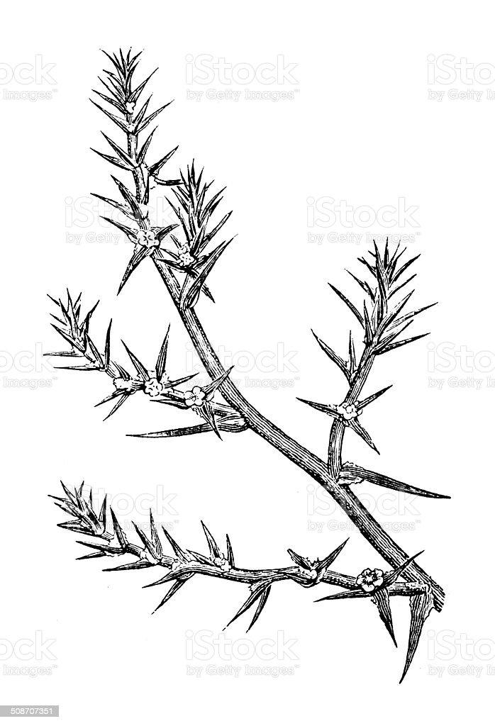 Antique illustration of Kali turgida (prickly saltwort) vector art illustration