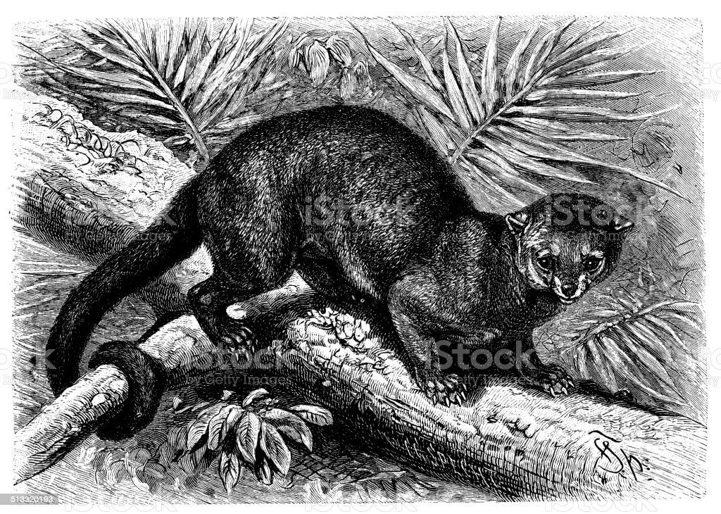 Antique illustration of kinkajou (Potos flavus) vector art illustration