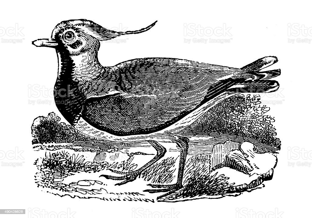 Antique illustration of lapwing or peewit (Vanellus vanellus) vector art illustration