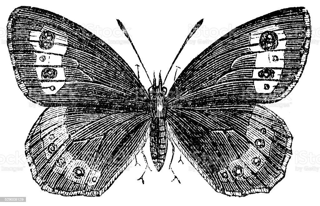 Antique illustration of Large Ringlet (Erebia euryale) vector art illustration