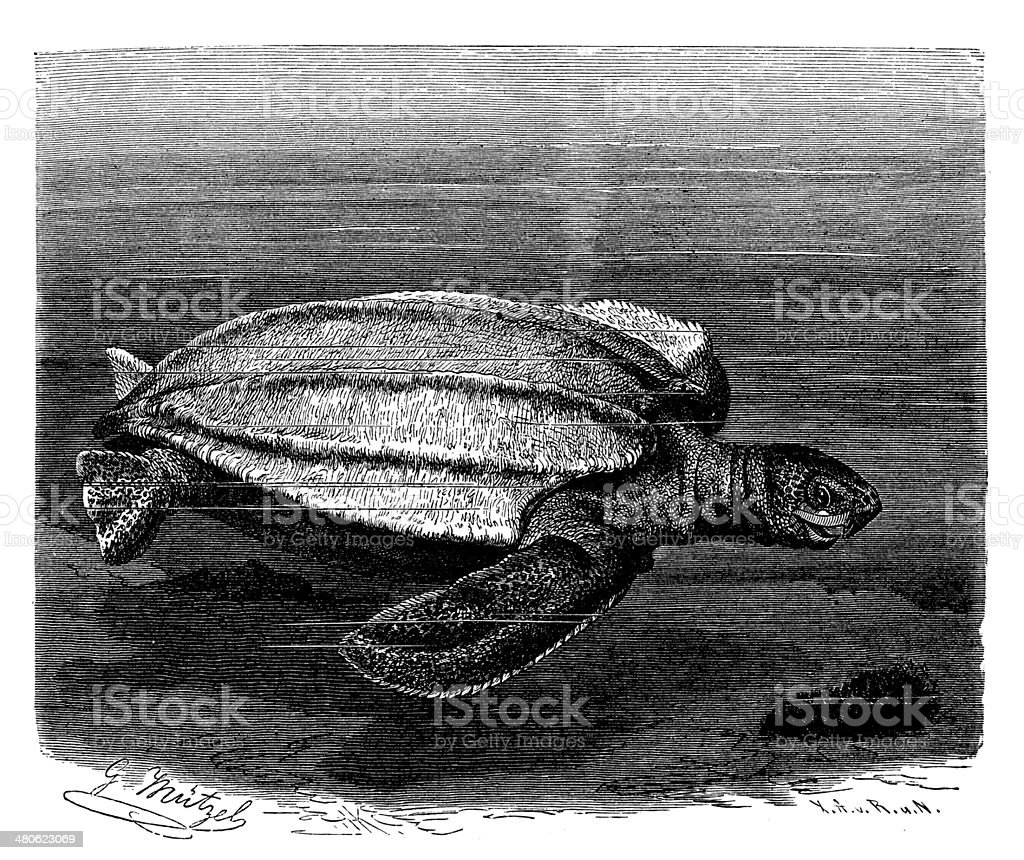 Antique illustration of leatherback sea turtle (Dermochelys coriacea) vector art illustration