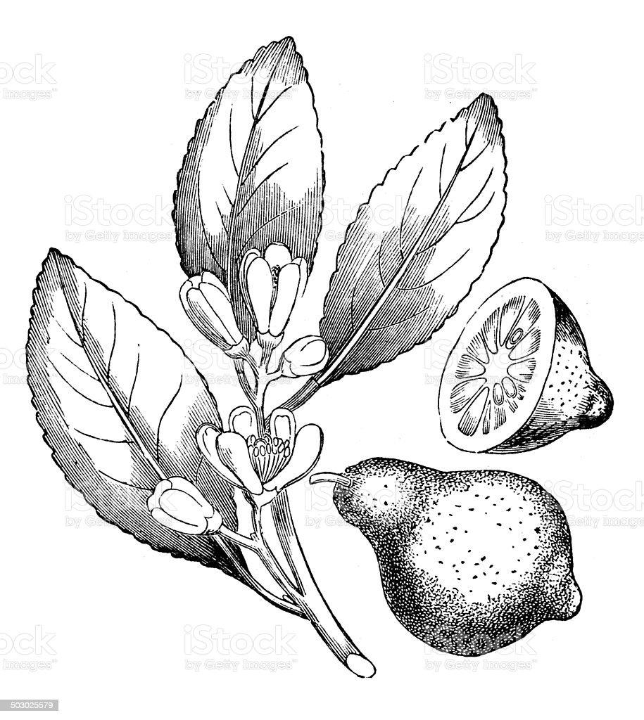Antique illustration of lemon (Citrus limon) vector art illustration