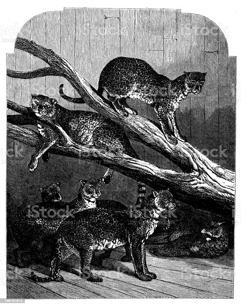 Antique illustration of leopards royalty-free stock vector art