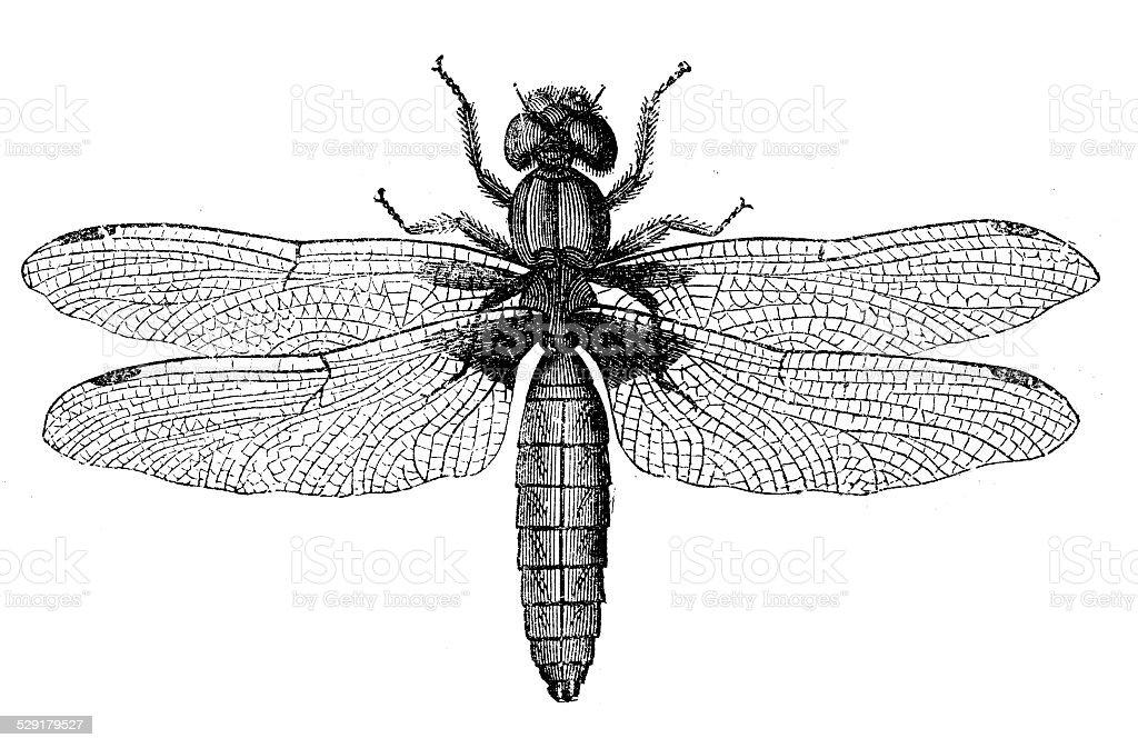 Antique illustration of Libellula depressa (broad-bodied chaser or broad-bodied darter) vector art illustration