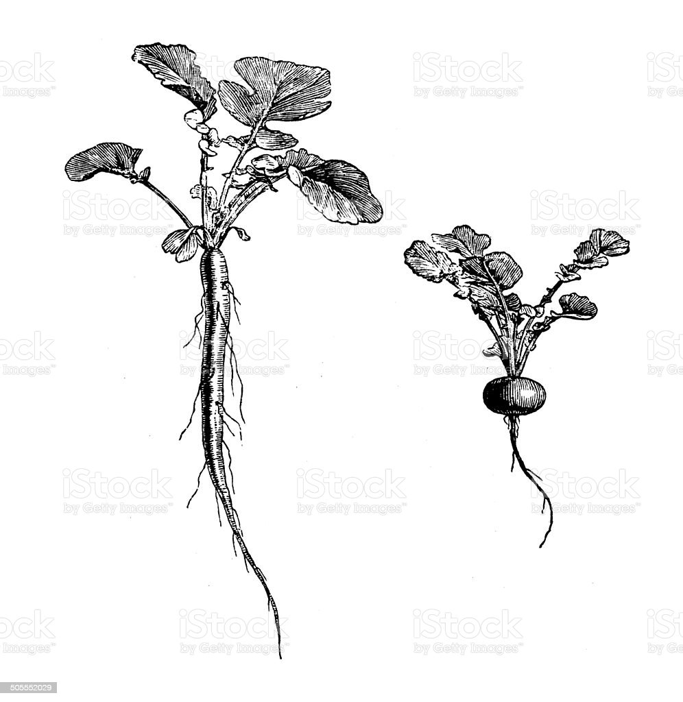 Antique illustration of long rooted and turnip rooted radish vector art illustration