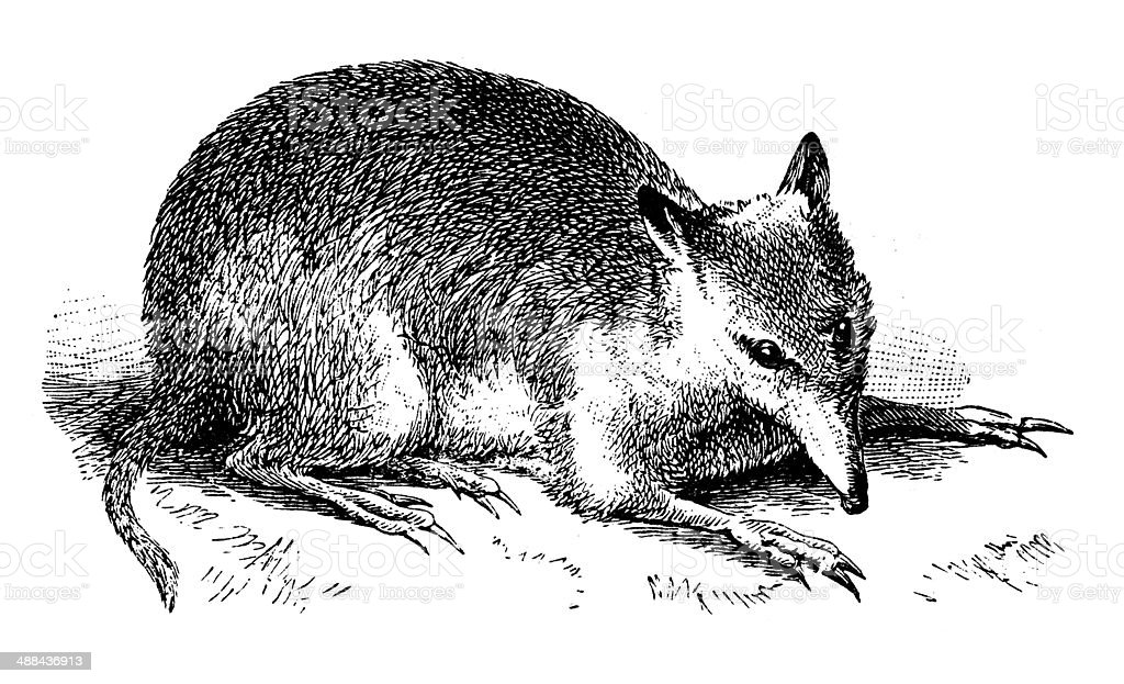 Antique illustration of long-nosed bandicoot (Perameles nasuta) royalty-free stock vector art