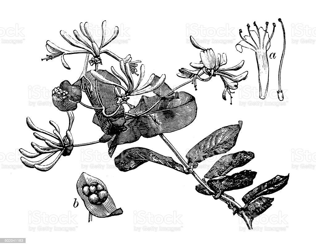 Antique illustration of Lonicera caprifolium (goat-leaf honeysuckle, Italian honeysuckle) royalty-free stock vector art