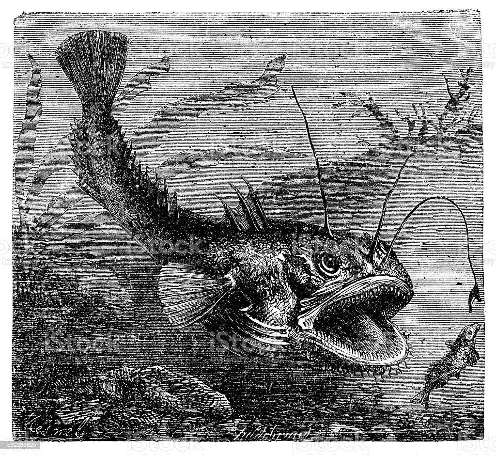 Antique illustration of Lophius piscatorius (angler) vector art illustration