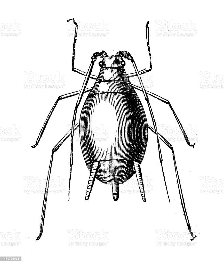 Antique illustration of Macrosiphum rosae vector art illustration