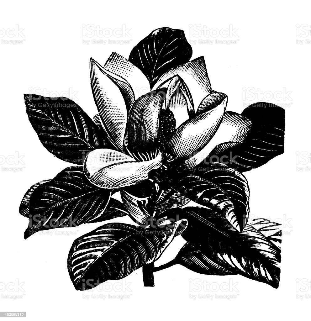 Antique illustration of Magnolia grandiflora (southern magnolia, bull bay) vector art illustration