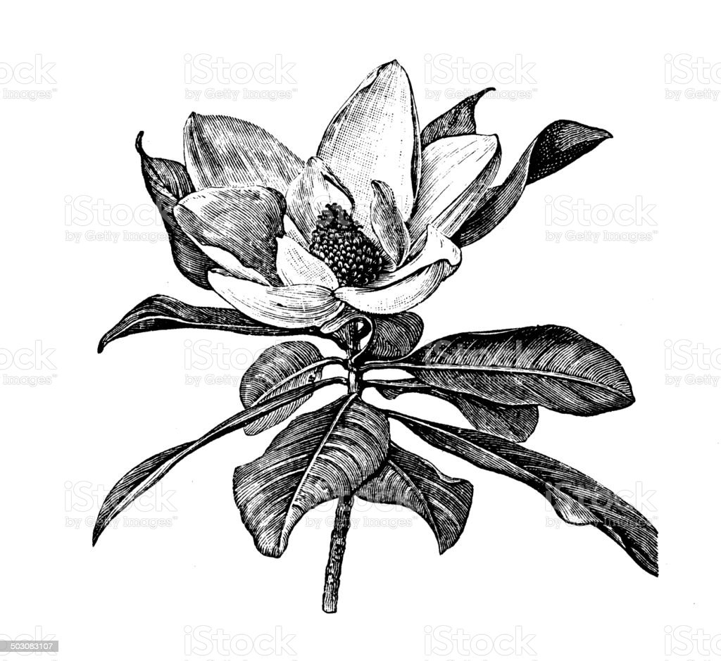 Antique illustration of Magnolia grandiflora (southern magnolia or bull bay) vector art illustration