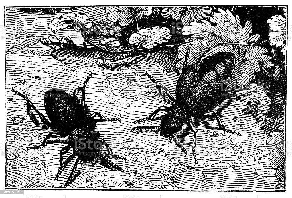Antique illustration of male and female oil beetle (Meloe proscarabaeus) vector art illustration