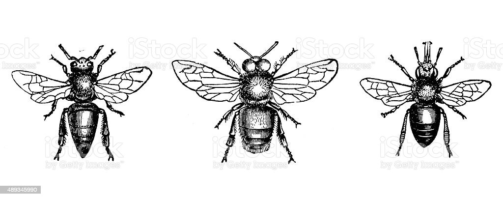 Antique illustration of male, female, worker of honey bee vector art illustration