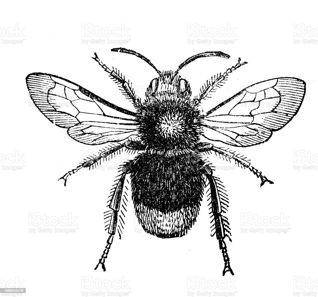 antique illustration of male redtailed bumblebee stock vector art