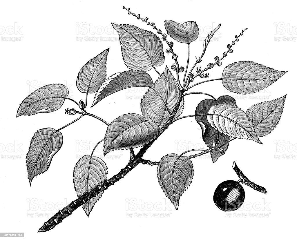 Antique illustration of manchineel tree (hippomane mancinella) vector art illustration