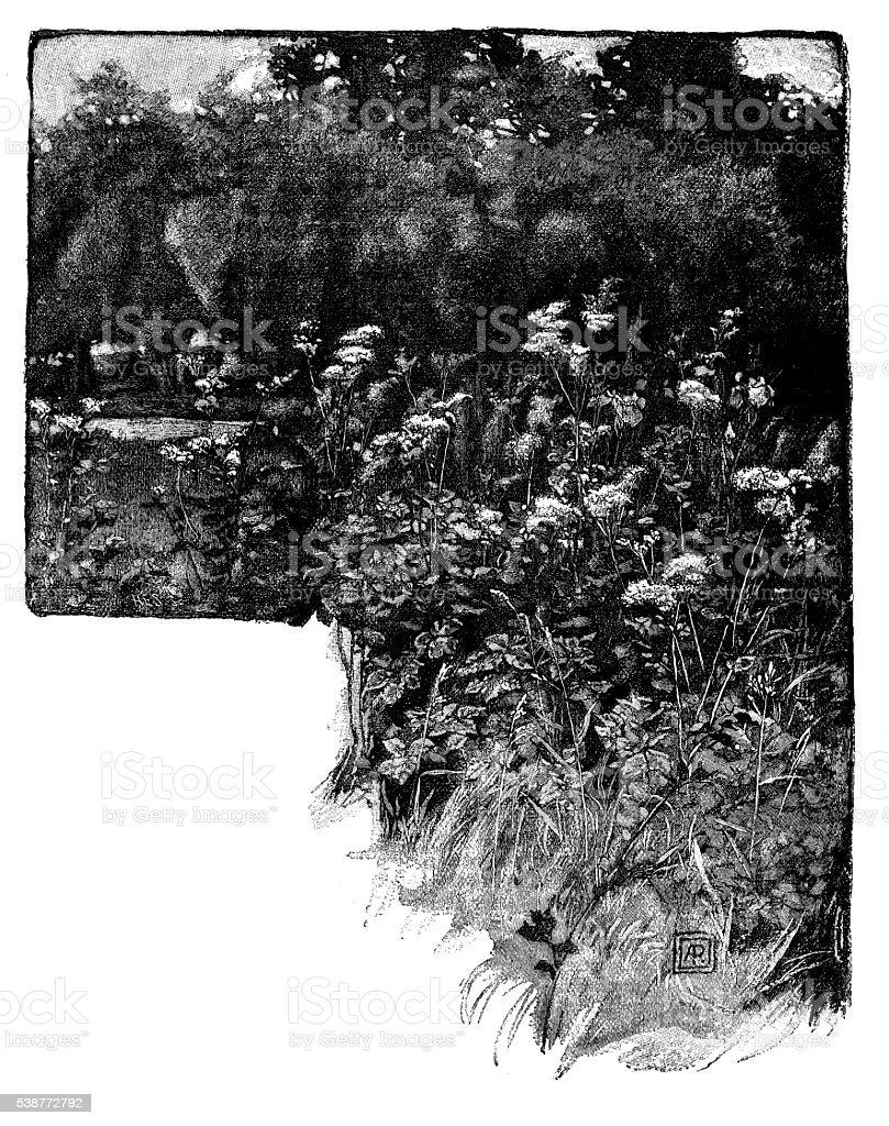 Antique illustration of meadowsweet vector art illustration