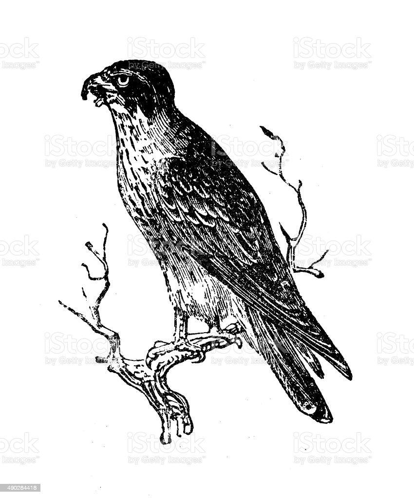 Antique illustration of merlin (Falco columbarius) vector art illustration