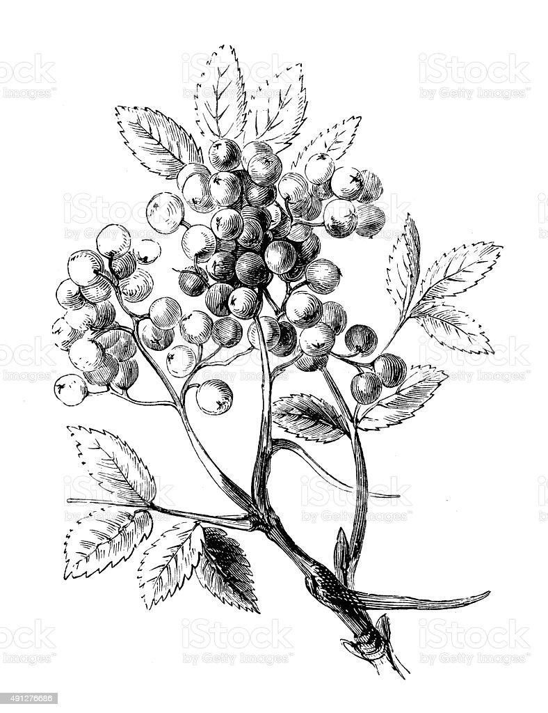 Antique illustration of mountain ash tree vector art illustration