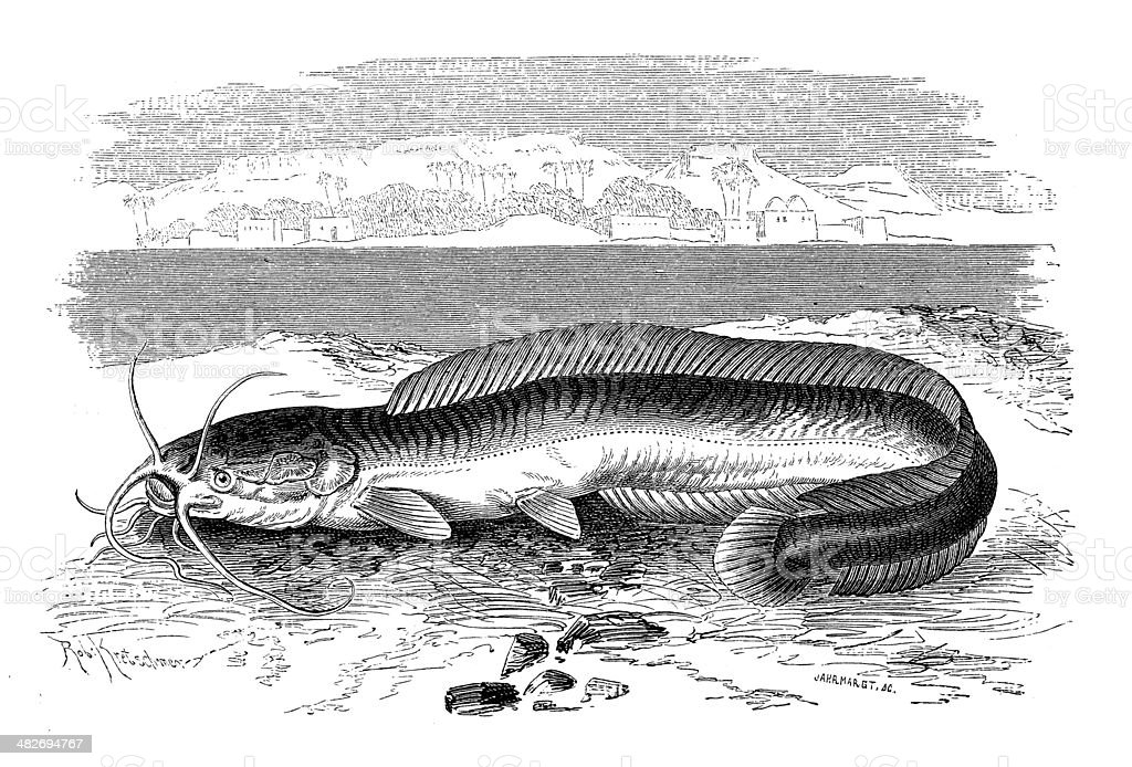 Antique illustration of Mudfish or African airbreathing catfish (Clarias anguillaris) royalty-free stock vector art
