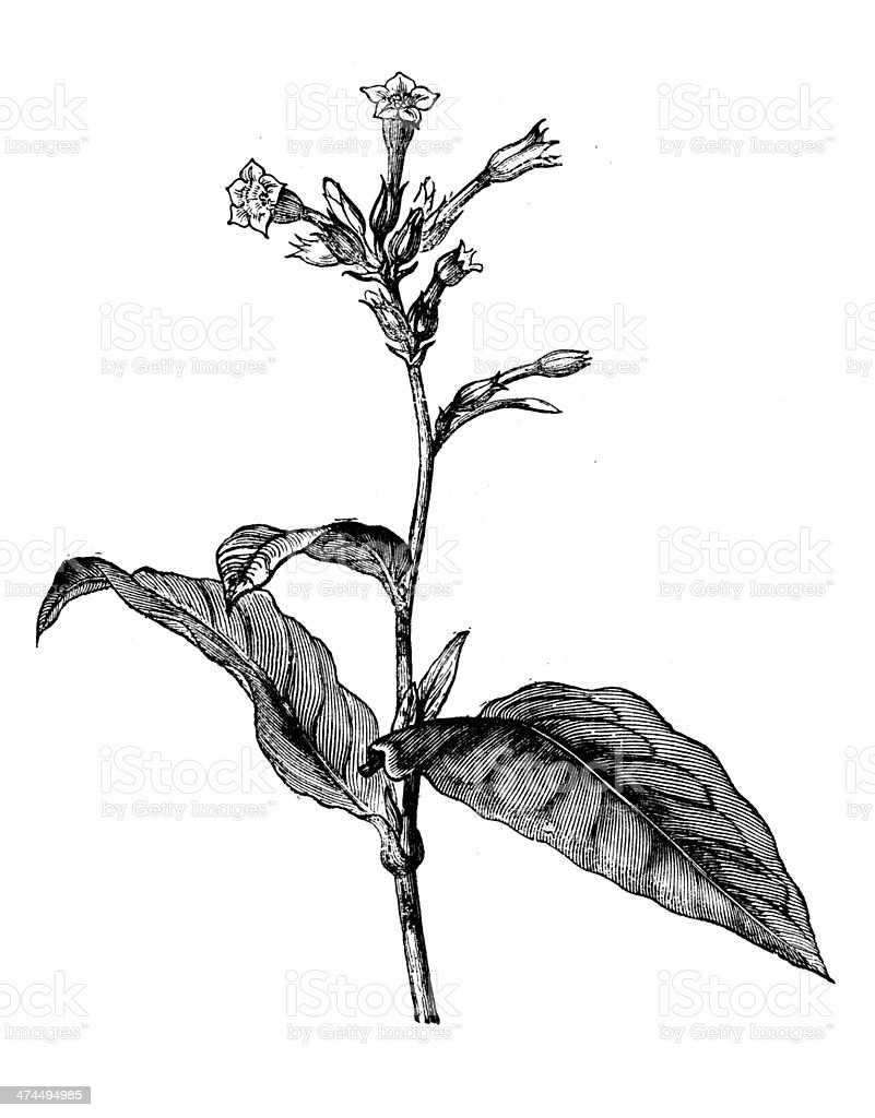 Antique illustration of Nicotiana tabacum (tobacco) vector art illustration