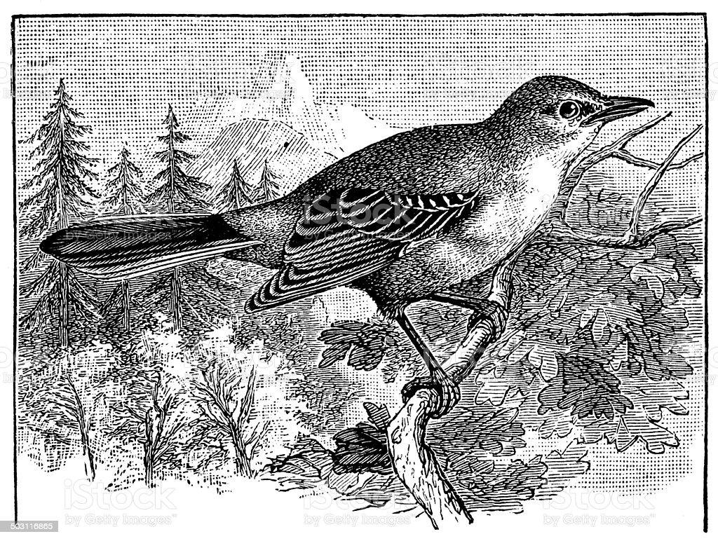 Antique illustration of Northern Mockingbird (Mimus polyglottos) vector art illustration