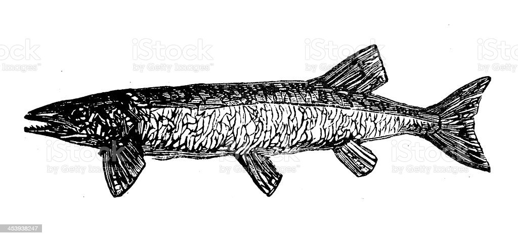 Antique illustration of northern pike (Esox lucius) vector art illustration