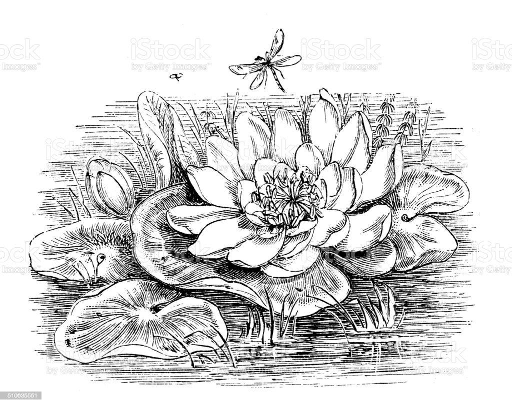Antique illustration of Nymphaea alba (European White Waterlily) vector art illustration