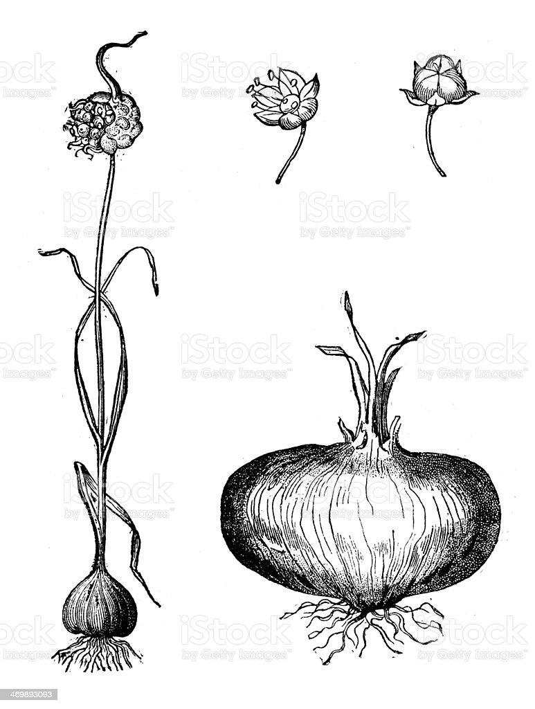 Antique illustration of onion vector art illustration