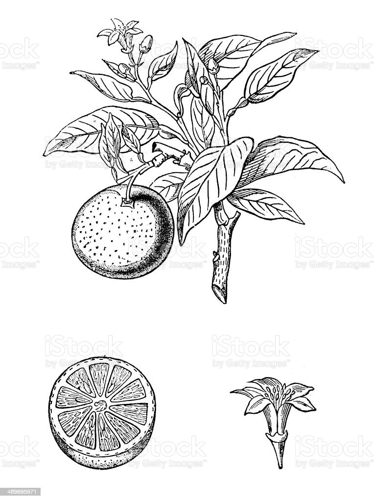 Antique illustration of orange (Citrus sinensis) vector art illustration