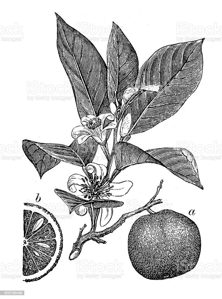 Antique illustration of orange vector art illustration