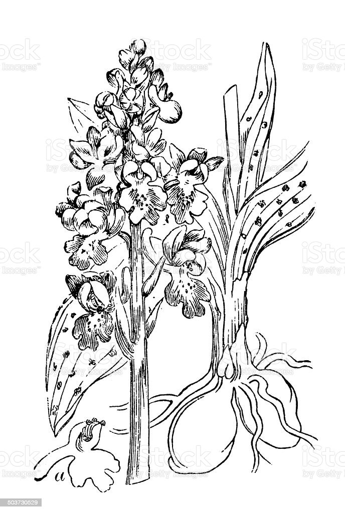 Antique illustration of orchid: Orchis mascula (early purple orchid) vector art illustration
