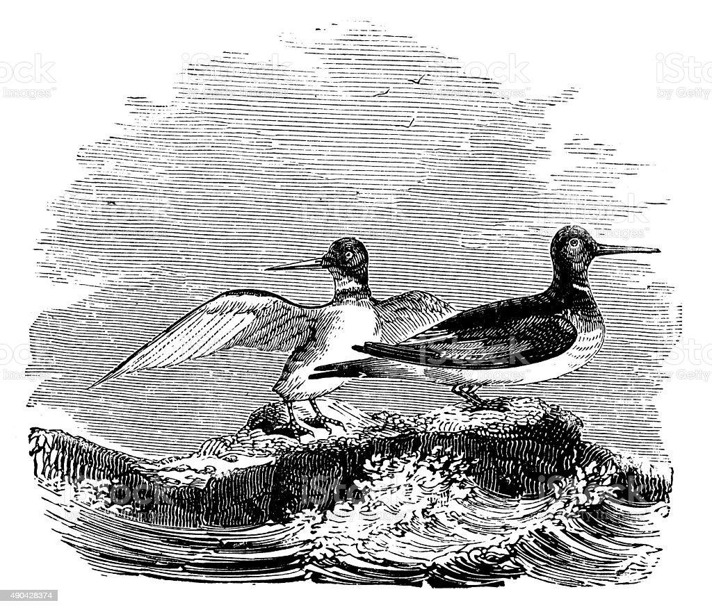 Antique illustration of oystercatchers (Haematopus ostralegus) above the waves vector art illustration