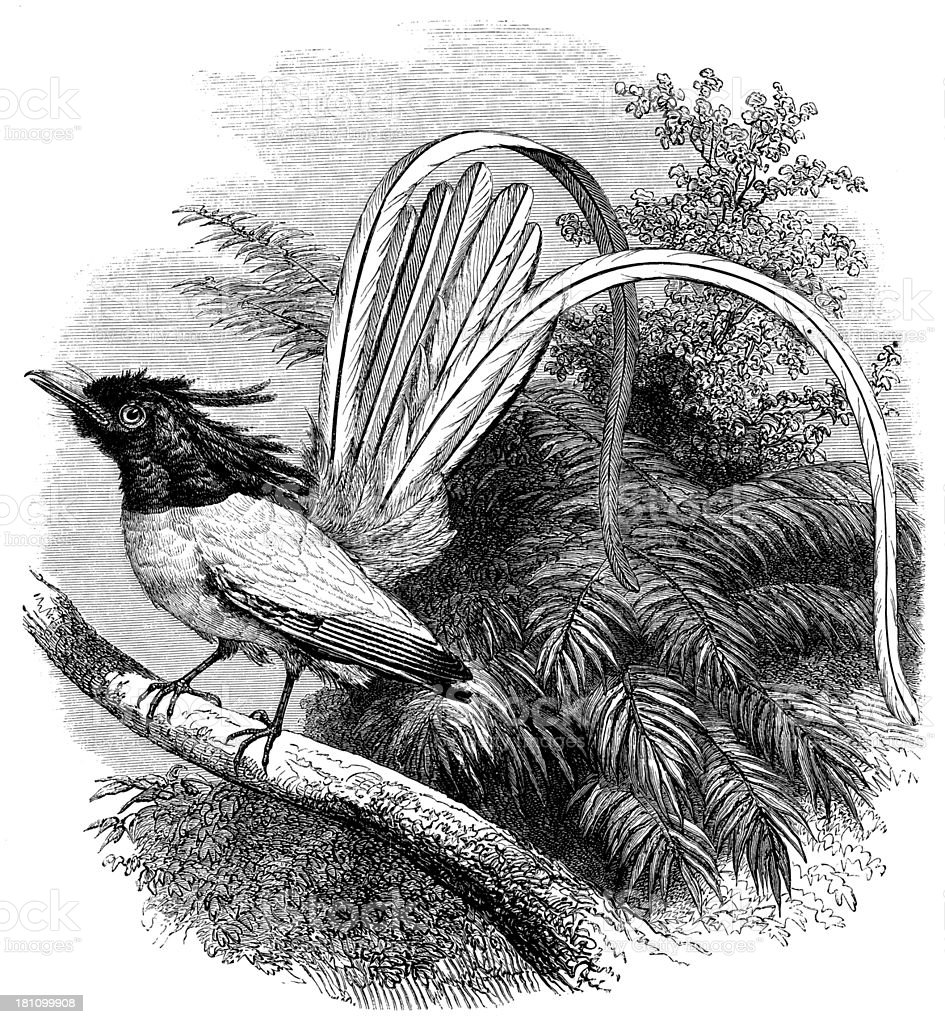 Antique illustration of paradise flycatcher (muscicapa paradisi) royalty-free stock vector art