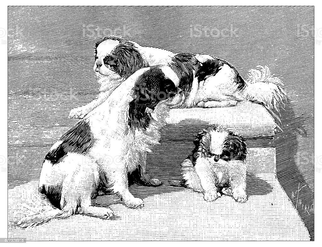 Antique illustration of Pekingese Spaniel dogs vector art illustration