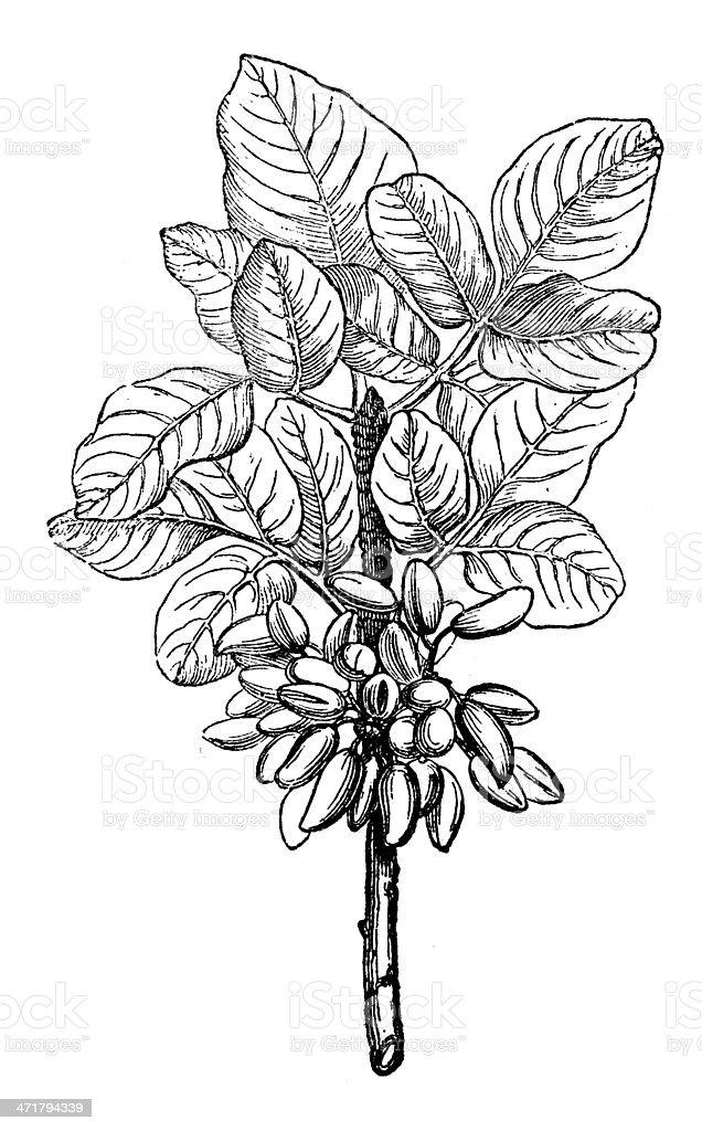 Antique illustration of pistachio (Pistacia vera) vector art illustration