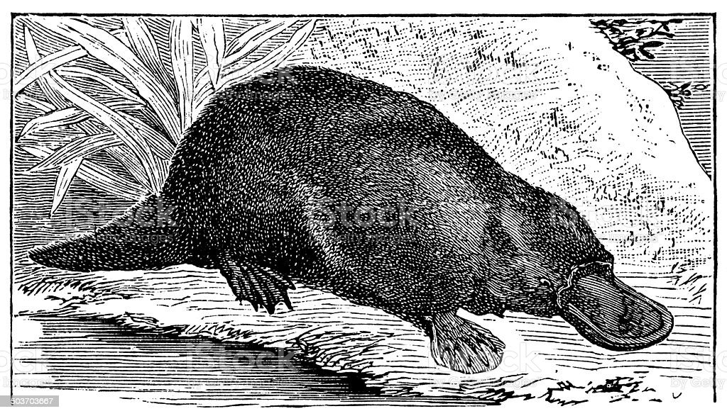 Antique illustration of platypus (Ornithorhynchus anatinus) vector art illustration