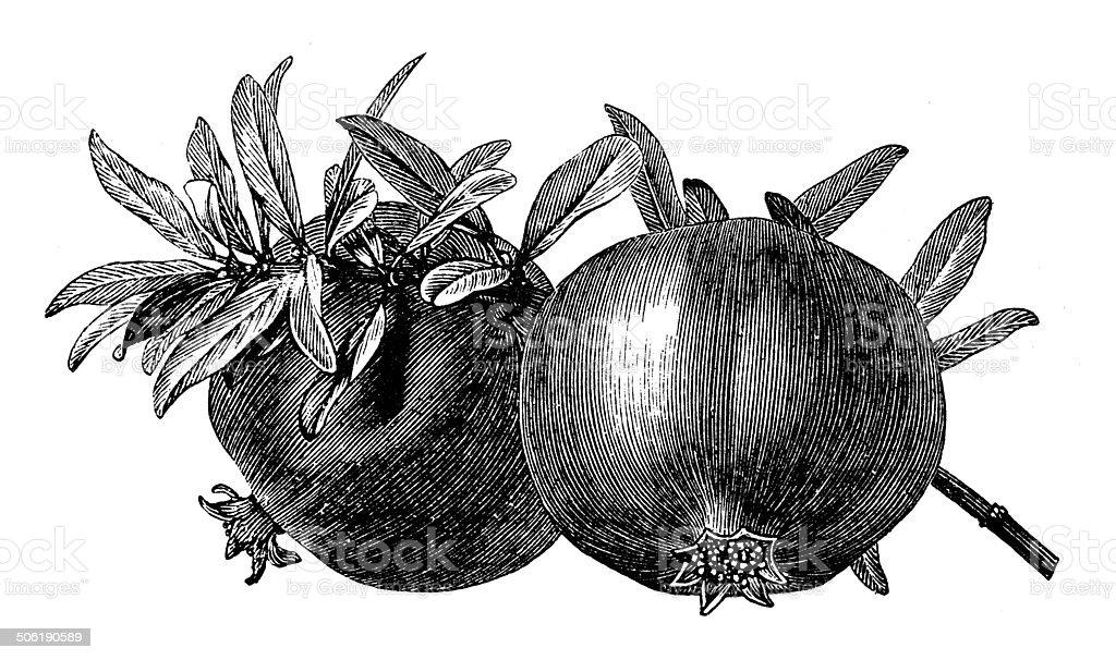 Antique illustration of pomegranate (Punica granatum) vector art illustration