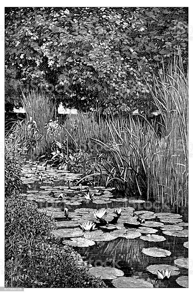 Antique illustration of pond plants vector art illustration