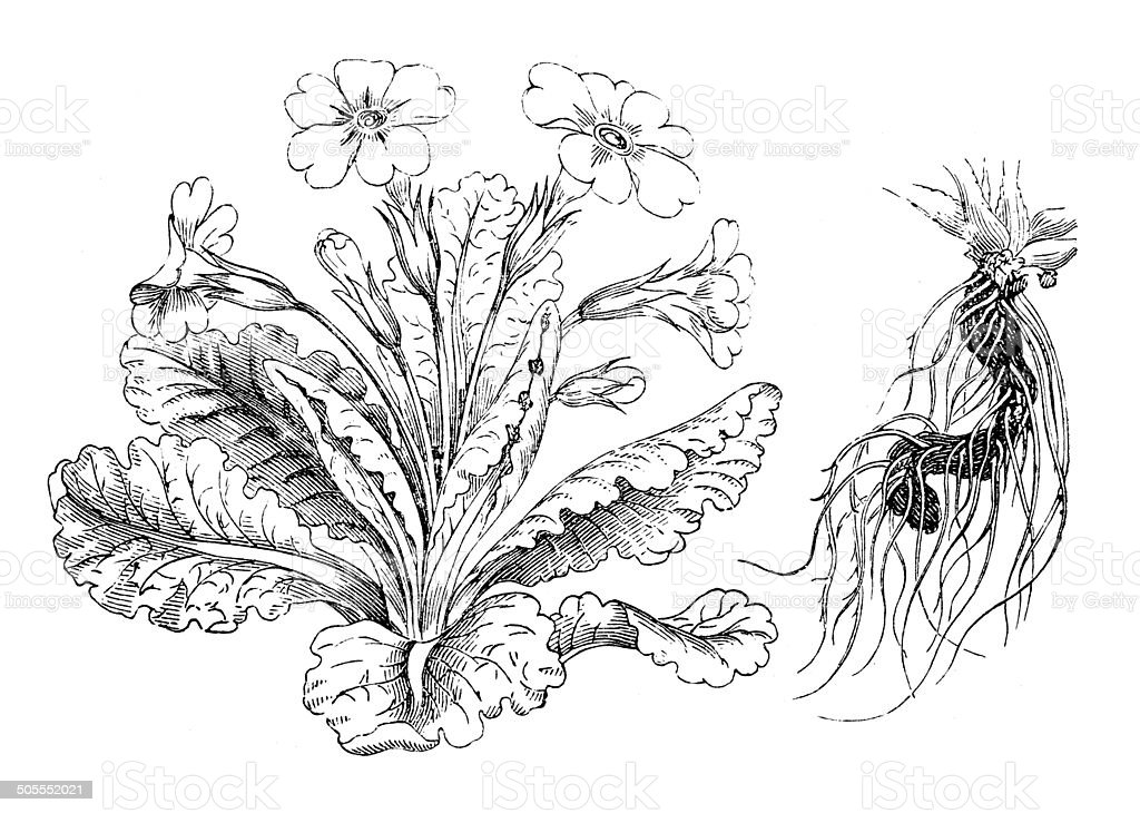 Antique illustration of Primula vulgaris (primrose) vector art illustration