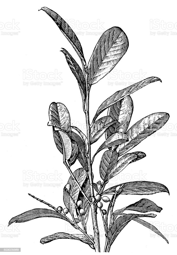 Antique illustration of Prunus laurocerasus (cherry laurel) vector art illustration