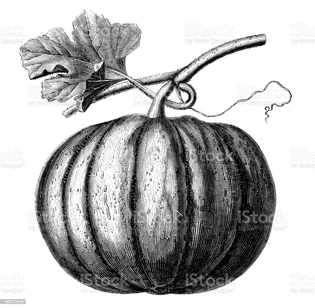 Antique illustration of pumpkin vector art illustration