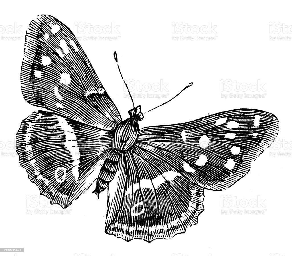 Antique illustration of purple emperor butterfly vector art illustration