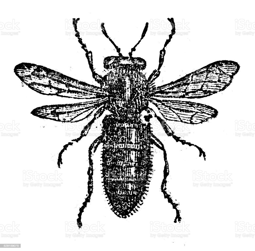 Antique illustration of Queen bee vector art illustration