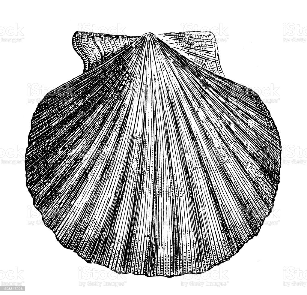 Antique illustration of Queen Scallop (Aequipecten opercularis) vector art illustration