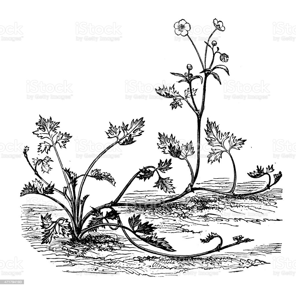 Antique illustration of Ranunculus repens (creeping buttercup) vector art illustration