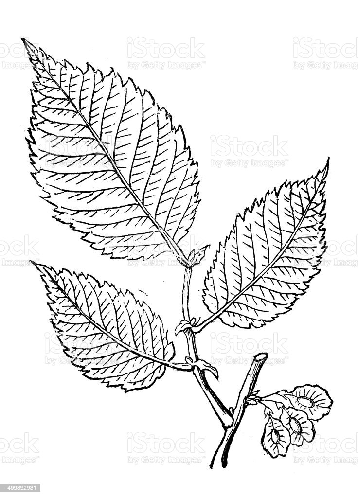 Antique illustration of Red Elm vector art illustration
