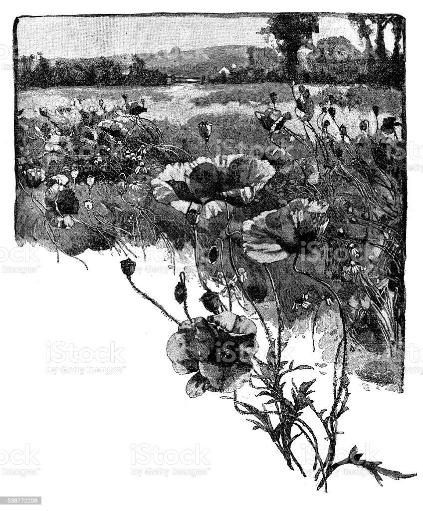 Antique illustration of red poppy field vector art illustration