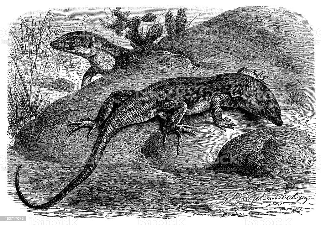 Antique illustration of Red-tailed Spiny-footed Lizard (Acanthodactylus erythrurus) royalty-free stock vector art